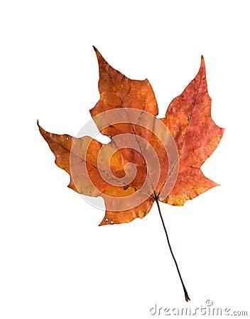 Autumn sugar maple leaf isolated
