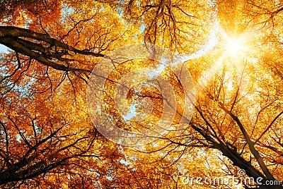 The autumn sun shining through golden treetops