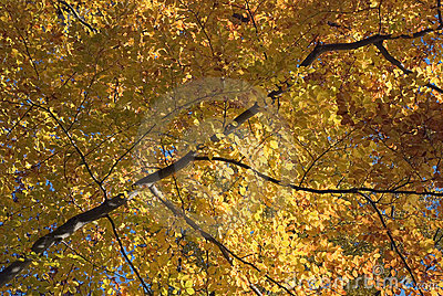 Autumn Tree with Golden Leaves