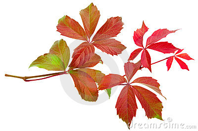 Autumn vine leaf