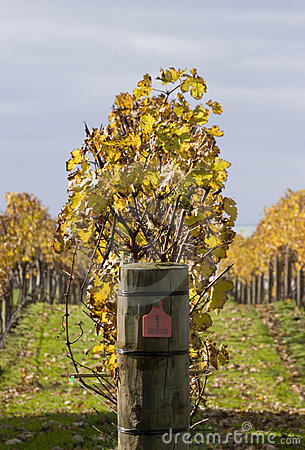 Free Autumn Vines 03 Royalty Free Stock Photography - 878357