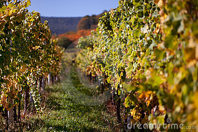 Autumn Vineyard Stock Photo - Image: 21552060