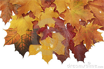 Autumn wet leaves isolated
