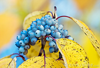 Autumn wild berries