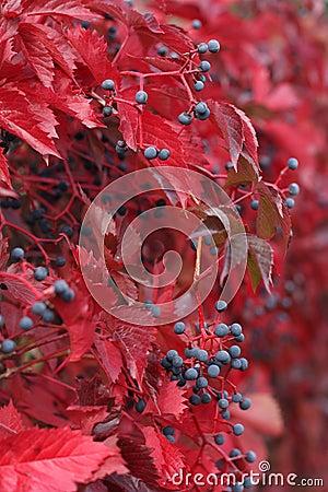 Free Autumn Wild Grapes Close Up Stock Photos - 26891593
