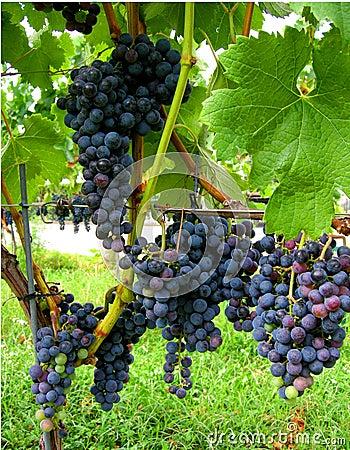 Autumn  wine Merlot  vineyard