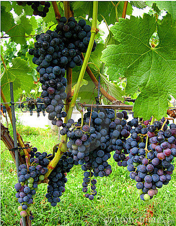 Free Autumn Wine Merlot Vineyard Royalty Free Stock Images - 2927489