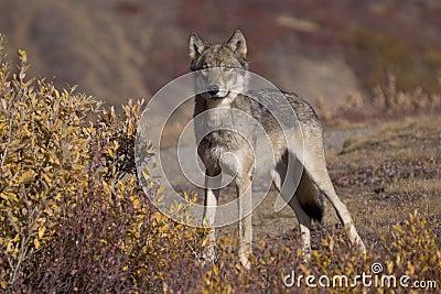 Autumn Wolf fullview
