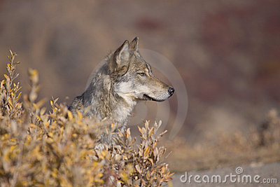 Autumn Wolf Sideview