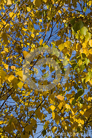 Autumn yellow leafs