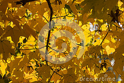 Autumn Yellow Maple Leaves Background
