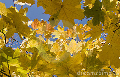 Autumn. Yellow maple leaves over blue sky