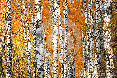 Autumn yellowed birch forest