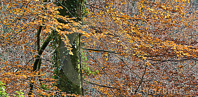 Autumnal beech tree