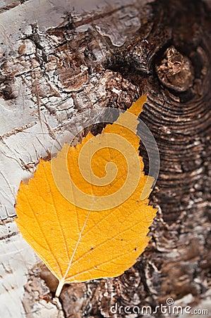 Autumnal birch leaf