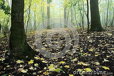 Autumnal deciduous temperate forest