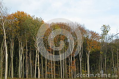Autumnal forest with bare trunks