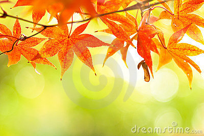 Autumnal at japan mable leaves