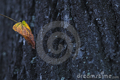 Autumnal leaf and tree trunk