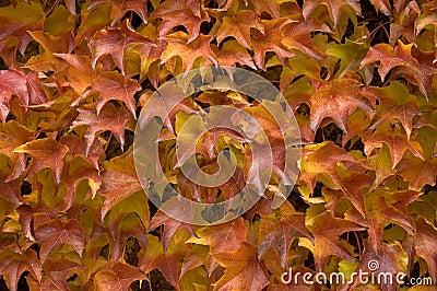 Autumnal leafage
