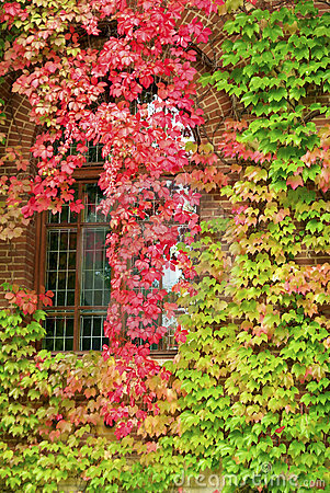Free Autumnal Leaves On Building Royalty Free Stock Image - 11303986
