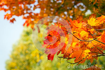 Autumnal leaves on the tree