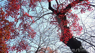 Autumnal maple tree
