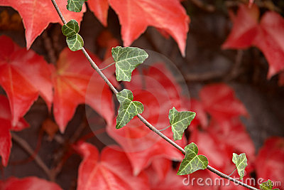 Autumnal sprig with red leafage.