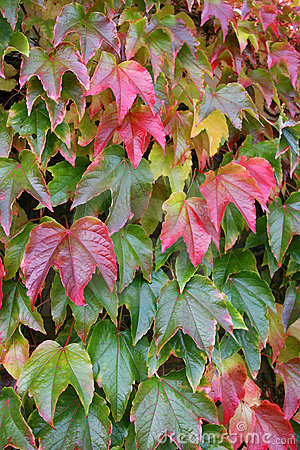 Autumnly colored red leaves