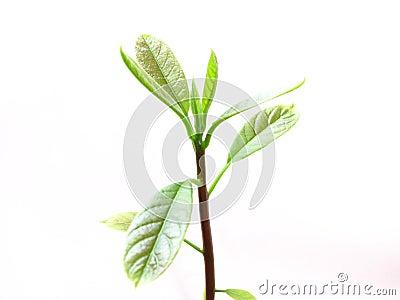 Avacado Sprout/Plant