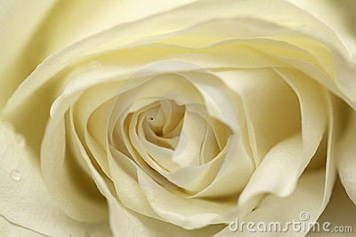 Avalanche white rose