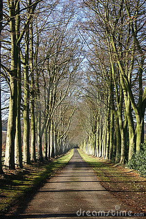 An avenue of beeches in the autumn