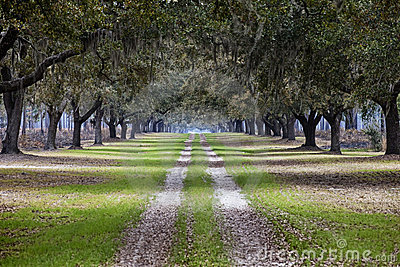 Avenue of live oaks