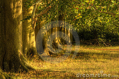 Avenue of old oak trees in last of Summer sun