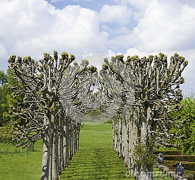 Avenue of pollarded trees in formal landscape