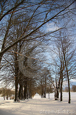 Avenue of trees in cold winter day under blue sky