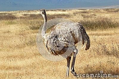 Avestruz fêmea que olha ao redor
