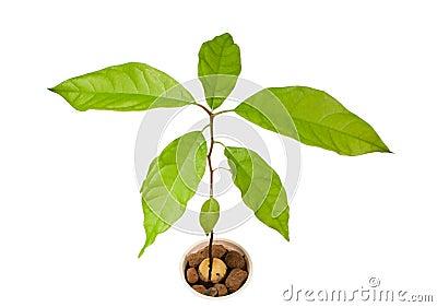 Avocado plant