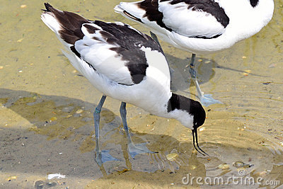 Avocet feeding