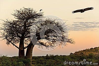 Avvoltoio - albero del baobab - Savuti - il Botswana