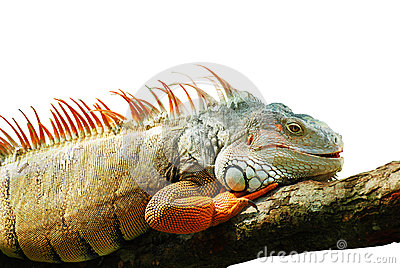 Awesome Iguana on the white background