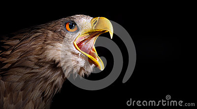 Awesome screaming eagle.