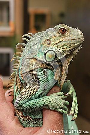 Axanthic (Blue Morph) Green Iguana