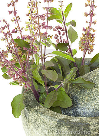 Ayurvedic Remedy Holy Basil