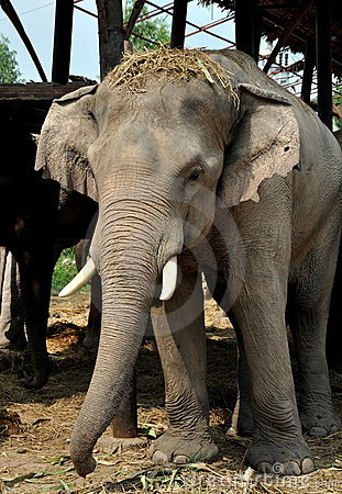 Ayutthaya, Thailand:  Elephant at Thai Kraal