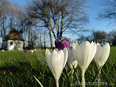 Azafrán de la primavera