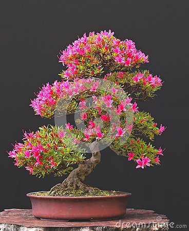 Free Azalea Bonsai In Bloom Stock Photo - 3459620