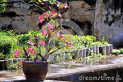 Azalea Flowers Tree In Pot Put On Concrete Floor In The