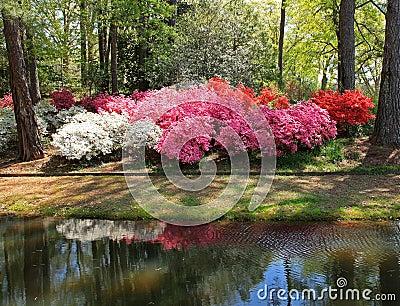 Azaleas At Callaway Gardens Stock Photo Image 39789634