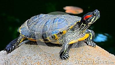Aziatische schildpad